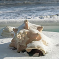 Conch Shell In Snow by Carol Bilodeau