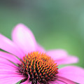 Cone Flower 2 by Neil Overy