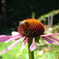 Cone Flower And Honey Bee by Susan Baker