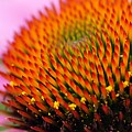 Cone Flower Closeup by Larry Ricker