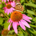 Cone Flower Visitor by Linda Covino
