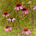 Cone Flowers In The Meadow by Neil Doren