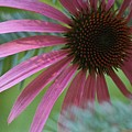 Coneflower Amongst Evergreen by Leisa Chasse