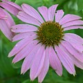 Coneflower by Charles HALL