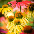Coneflower by Cindy Smiley