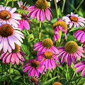 Coneflower Garden by Eleanor Abramson