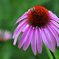 Coneflower by Judy Vincent