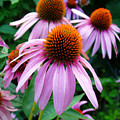 Three Coneflowers  by Nancy Mueller