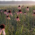 Coneflowers At Dawn by John Wanserski