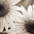 Coneflowers In Sepia by Patricia Strand