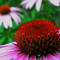 Coneflowers by Juergen Roth