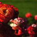 Confetti Roses by Helene Fallstrom