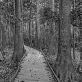 Congaree 2017 03 Bw by Jim Dollar