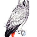 Congo African Grey Parrot by Dan Pearce