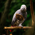 Congo African Grey Parrot by Peter v Quenter