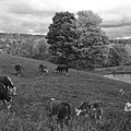 Congregating Cows. Jenne Farm Cow Reading Vermont Black And White by Toby McGuire