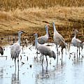 Congregating Sandhill Cranes by Carol Groenen