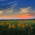 Connecticut Sunflowers In The Evening by Bill Wakeley