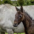 Connemara Foal by Teresa Wilson