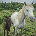 Connemara Mare And Foal Vertical by Teresa Wilson