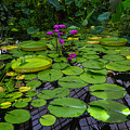 Conservatory Waterlilies by Garry Gay