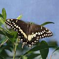 Constantines Swallowtail by Kim Hojnacki
