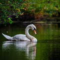 Contemplating Swan by Linda  Howes