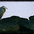 Contemplating Heron by Clayton Bruster