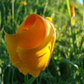 Contemporary Orange Poppy Flower Unfolding In Sunlight 10 Baslee Troutman by Baslee Troutman