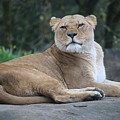 Contented Lioness by Crooked Cat Art and Photography