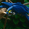 Contorted Parrots by Douglas Barnett