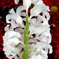 Contrasting Red And White Flowers by Carol Groenen