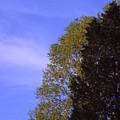 Contrasting Trees Against Sky by Randy Muir