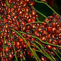 Convergent Ladybird Beetles At Muir Woods by Brian Tada
