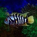 Convict Cichlid Fish by Scott Wallace Digital Designs