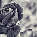 Cool Black Rose by Sharon Popek