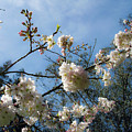 Cool Cherry Blossoms by Bonnie Follett