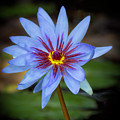 Cool Water Lily by Sabrina L Ryan
