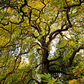 Coole Park Tree Galway Ireland by Pierre Leclerc Photography