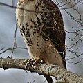 Cooper's Hawk 2 by Joe Faherty