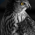 Coopers Hawk Bw by Dustin Huckfeldt