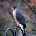 Coopers Hawk In Autumn by Karen Adams