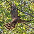 Cooper's Hawk In Early Morning Light by Marc Crumpler