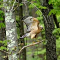 Coopers Hawk In New Hampshire by Barbara S Nickerson