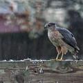 Cooper's Hawk In The Rain by Jonathan Ryan