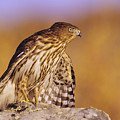 Coopers Hawk by John Hyde - Printscapes