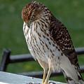 Cooper's Hawk Out My Back Door by Randy J Heath