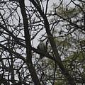 Cooper's Hawk Perched In Tree by Deborah Weinhart