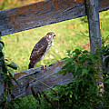 Coopers Hawk Perched On A Weathered Fence by Al  Mueller