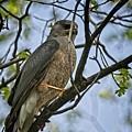 Cooper's Hawk by Rick Graham
